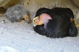 california-condor-chick